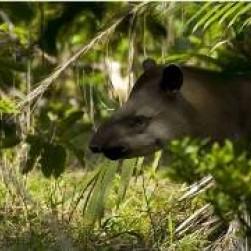 Le tapir du Brésil