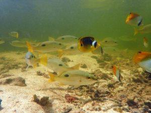 La mangrove d'Europa accueille une grande diversité de poissons récifaux ©Alexandre Laubin